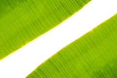 Space between banana leaf. Banana leaf texture on white background Stock Photos