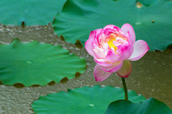 Space lotus Royalty Free Stock Images