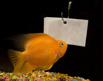 Space for rent. Goldfish looking at blank ad space royalty free stock photo