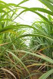 Space of between sugarcane row Stock Photo
