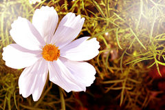 Space for text. White flowers old sepia top view and empty space for text Royalty Free Stock Images