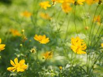 Yellow Flower Mexican Aster Klondyke Type Bright Light Sulphureus beautiful in nature. Space for write Background Closeup Yellow Flower Mexican Aster Klondyke stock image