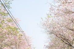 Spacer ?cie?ka otaczaj?ca z kwitn?? Tabebuia rosea menchii tubowego drzewa obraz stock