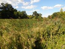 spacer na lato parka widoku jezioro całkowicie przerastający z trawą zdjęcie stock