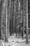 Spacer przez lasu Obraz Royalty Free