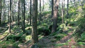 Spacer w lesie na słonecznym dniu zbiory wideo