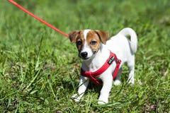 Spacer w parkowym śmiesznym ślicznym małego psa smyczu - nicielnica fotografia stock