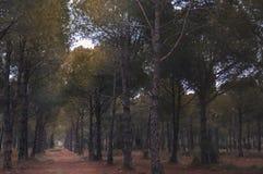 Spacer w sosnowym lesie w Antalya obraz stock