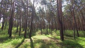 Spacer w sosnowym lesie zbiory