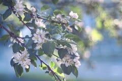 Spacer w wiosna parka wiśni Obraz Royalty Free