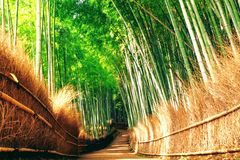 Spacerujący przez spokojnego Arashiyama Bambusowego gaju na zewnątrz Kyoto, właśnie, na gorącym pogodnym lato ranku w Japonia obrazy stock