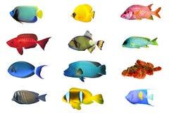 Spacies d'index de poissons Photos libres de droits