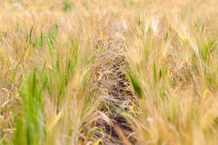 Spacing in the fields of crops close-up. Processing zero technology Stock Photography