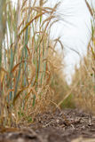 Spacing in the fields of crops close-up. Processing zero technology Stock Photos