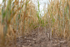 Spacing in the fields of crops close-up. Processing zero technology Stock Photo