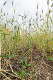 Spacing in the fields of crops close-up. Processing zero technology Royalty Free Stock Photo