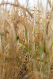 Spacing in the fields of crops close-up. Processing zero technology Royalty Free Stock Photography