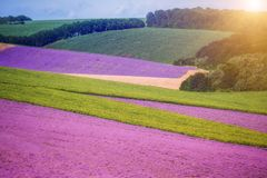 Spacious fields of lavender lavender and green fields, geometric forms. Farm fields in a summer sunny day. stock photos