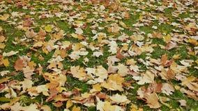 Spadać barwioni liście kłamają na zielonej trawie Panorama jesień pod twój ciekami w parku Strzelać w ruchu z zbiory