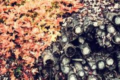 Spadać cięcie puszka drzewa i liście klonowi Obraz Stock