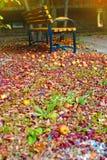 Spadać dojrzali jabłka na ziemi w parku z drewnianą ławką w pięknym świetle Zdjęcia Stock