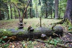 Spadać drzewnego bagażnika przerastający centrum w drewnach obraz royalty free