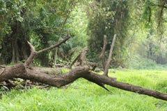 Spadać drzewny bagażnik na ziemi zdjęcie royalty free