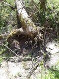 Spadać drzewo 3 fotografia royalty free