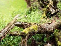Spadać drzewo przerastający z mech zdjęcie stock