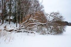 Spadać drzewo w zamarzniętym jeziorze zdjęcie royalty free