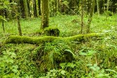 Spadać drzewo zakrywający z mech obrazy royalty free