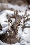 Spadać gigant odpoczywa w śniegu zdjęcia royalty free