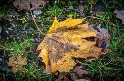 Spadać jaskrawy liść klonowy w deszczu Deszcz, jesień park obraz royalty free