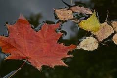 Spadać jaskrawy liść klonowy w deszczu Spadać jesień liście w kałuży Deszcz, jesień park zdjęcia stock