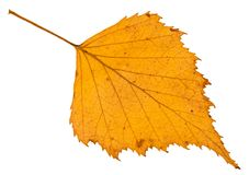 spadać jesień żółty liść odizolowywający brzozy drzewo Fotografia Stock
