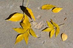 Spadać jesień popiółu liście fotografia stock