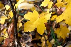 Spadać kolorów żółtych liście Na ziemi Zdjęcia Stock