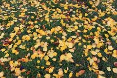 Spadać kolor żółty opuszcza na zielonej trawie jako piękny jaskrawy jesieni tło Obrazy Royalty Free