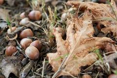 Spadać liście i acorns zdjęcia royalty free