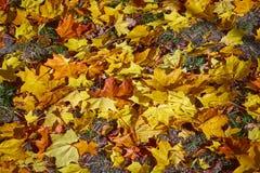 Spadać liście klonowi na trawie zdjęcia stock