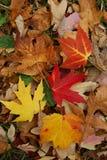 Spadać liście klonowi w Kanada Obraz Stock