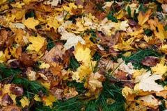 Spadać liście klonowi w trawie w jesieni Fotografia Royalty Free