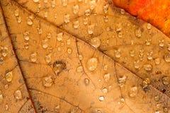 Spadać liście Moczą rosa Wodnych kropelek jesień obrazy royalty free