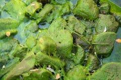Spadać liście na algach Obrazy Royalty Free