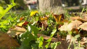 Spadać liście w zielonej trawie z żółtym dandelion na plamy tle fotografia stock