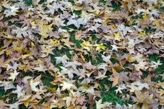 Spadać parasol drzewa liście Obrazy Stock