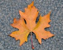 spadać pierwszy liść Zdjęcie Stock