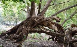 Spadać, Przekręcający, Drzewny bagażnik przy Północnym stawem, zdjęcia royalty free