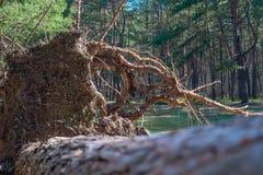 Spadać sosna butwieje po środku lasowej burzy da fotografia stock
