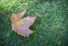 Spadać suchy liść na trawie Fotografia Stock